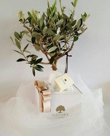 bomboniera-bonsai-ulivo-confezionato-paola-rolando